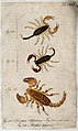 Three scorpions; Scorpius algericus and a variety of same an Wellcome V0022408EL.jpg