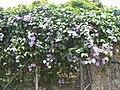 Thunbergia grandiflora (4).jpg