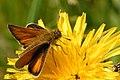 Thymelicus.lineola2.-.lindsey.jpg