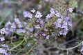 Thymus praecox-subsp-praecox-feuilles-ciliees carriere-saint-vaast-les-mello 60 01072008 01.jpg