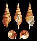 Tibia insulaechorab - Photo (c) H. Zell, algunos derechos reservados (CC BY-SA)