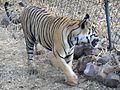 Tiger DSCN2554.jpg
