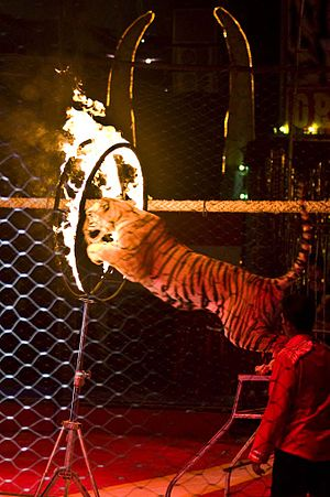 English: Tiger jumping through flaming hoops, ...