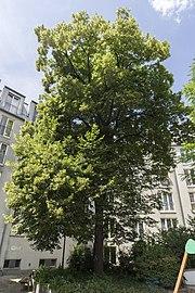 Tilia cordata, Margaretenstraße 89.jpg