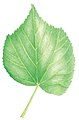 Tilia cordata leaf illustration.jpg