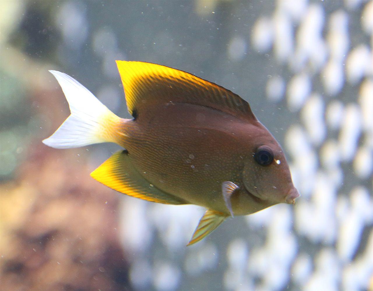 file tomini borstenzahndoktorfisch ctenochaetus tominiensis tierpark