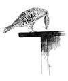 Torenvalk Falco tinnunculus Jos Zwarts 3.tif