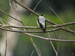 Torrent Flycatcher