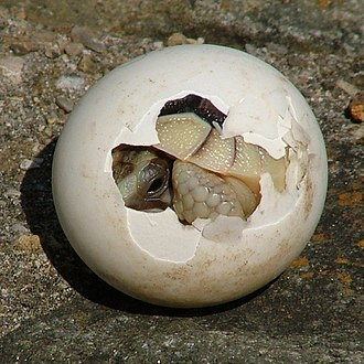 Amniote - A baby tortoise emerges from an amniotic egg.