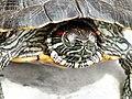 Tortoise3 cepolina.jpg