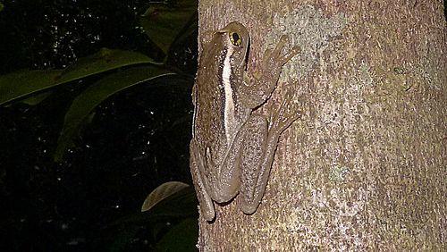 500px trachycephalus mesophaeus (hensel, 1867) (11336994453)
