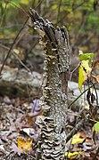 Trametes versicolor, Parque Estatal Brown County, Indiana, Estados Unidos, 2012-10-14, DD 01.jpg