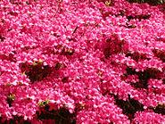Trebah Rhododendron