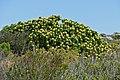 Tree Pincushion (Leucospermum conocarpodendron) (32948816465).jpg