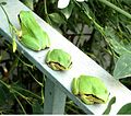 Tree frogs on our terrace - Flickr - gailhampshire.jpg