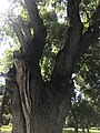 Tree letyazhevka.jpg