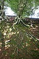 Tree roots in Pontypool.jpg