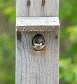 Tree swallow in a nest box in JBWR (25718).jpg