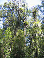 Trees in Waipoua Forest.jpg