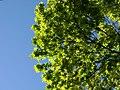 Trees in iran-qom city -پوشش گیاهی و درختان استان قم 10.jpg