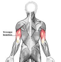 Triceps brachii.png