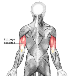 The Triceps