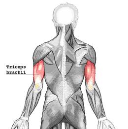 Muscolo Tricipite Brachiale Wikipedia