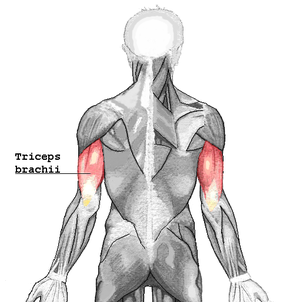 Triceps brachii muscle - Triceps brachii seen from behind.