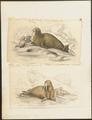 Trichechus rosmarus - 1700-1880 - Print - Iconographia Zoologica - Special Collections University of Amsterdam - UBA01 IZ21100003.tif