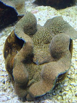 Tridacna - Image: Tridacna derasa.001 Aquarium Finisterrae