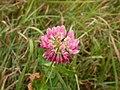 Trifolium hybridum (5155175076).jpg