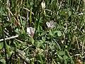 Trifolium monanthum monanthum 18047093.jpg