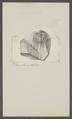 Trilobites spec. - - Print - Iconographia Zoologica - Special Collections University of Amsterdam - UBAINV0274 099 01 0023.tif