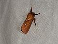 Triodia sylvina (36359795236).jpg