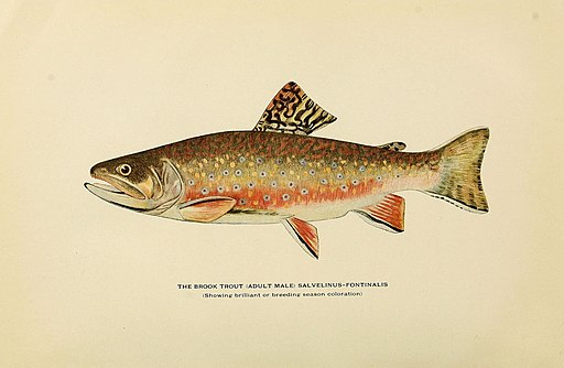 Trout fly-fishing in America (6309072494)