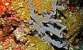 Tube Sponges (Amphimedon sp.) (8481846012).jpg
