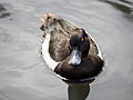 Tufted duck (14375243571).jpg