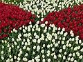 Tulip 1300193.jpg