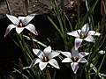 Tulipa clusiana Redouté4.jpg