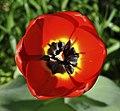 Tulipa qtl1.jpg