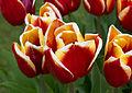 Tulipes rouges et jaunes - Burnby Hall.jpg