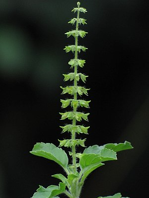 Ayurveda - Tulsi-flower (holy basil), an Ayurvedic herb