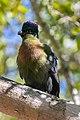 Turaco crestimorado (Tauraco porphlyreolophus), parque nacional Kruger, Sudáfrica, 2018-07-26, DD 35.jpg