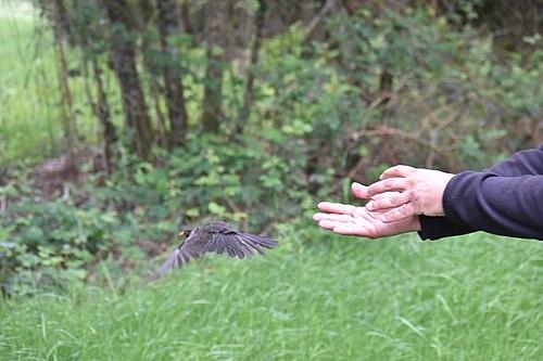 Turdus merula release.jpg
