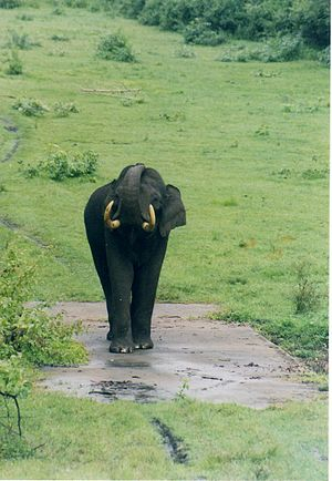 Wildlife of Karnataka - Lone Indian elephant (Elephas maximus indicus), the state animal, in Nagarahole National Park