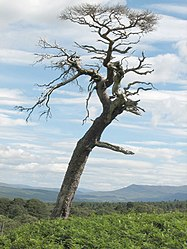 File:Twisted tree - geograph.org.uk - 523723.jpg. By: http://www.geograph.org.uk/profile/2831 Callum Black