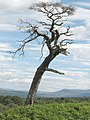 Twisted tree - geograph.org.uk - 523723.jpg