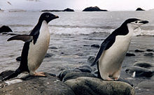 Two species of penguim at Arctowski Polish Station.jpg