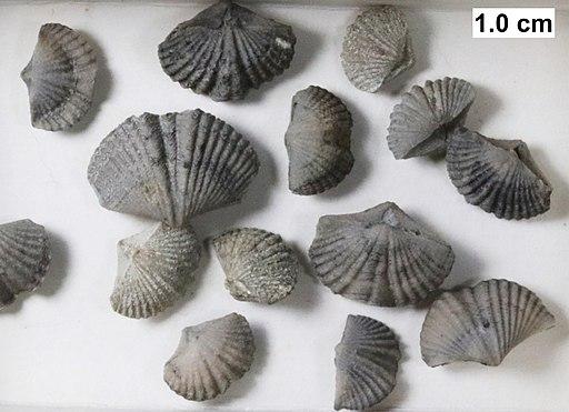 Tylothyris