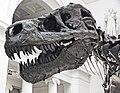 Tyrannosaurus rex (theropod dinosaur) (Hell Creek Formation, Upper Cretaceous; near Faith, South Dakota, USA) 11.jpg
